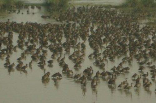 Article : Le parc national de Djoudj, nichoir des oiseaux.